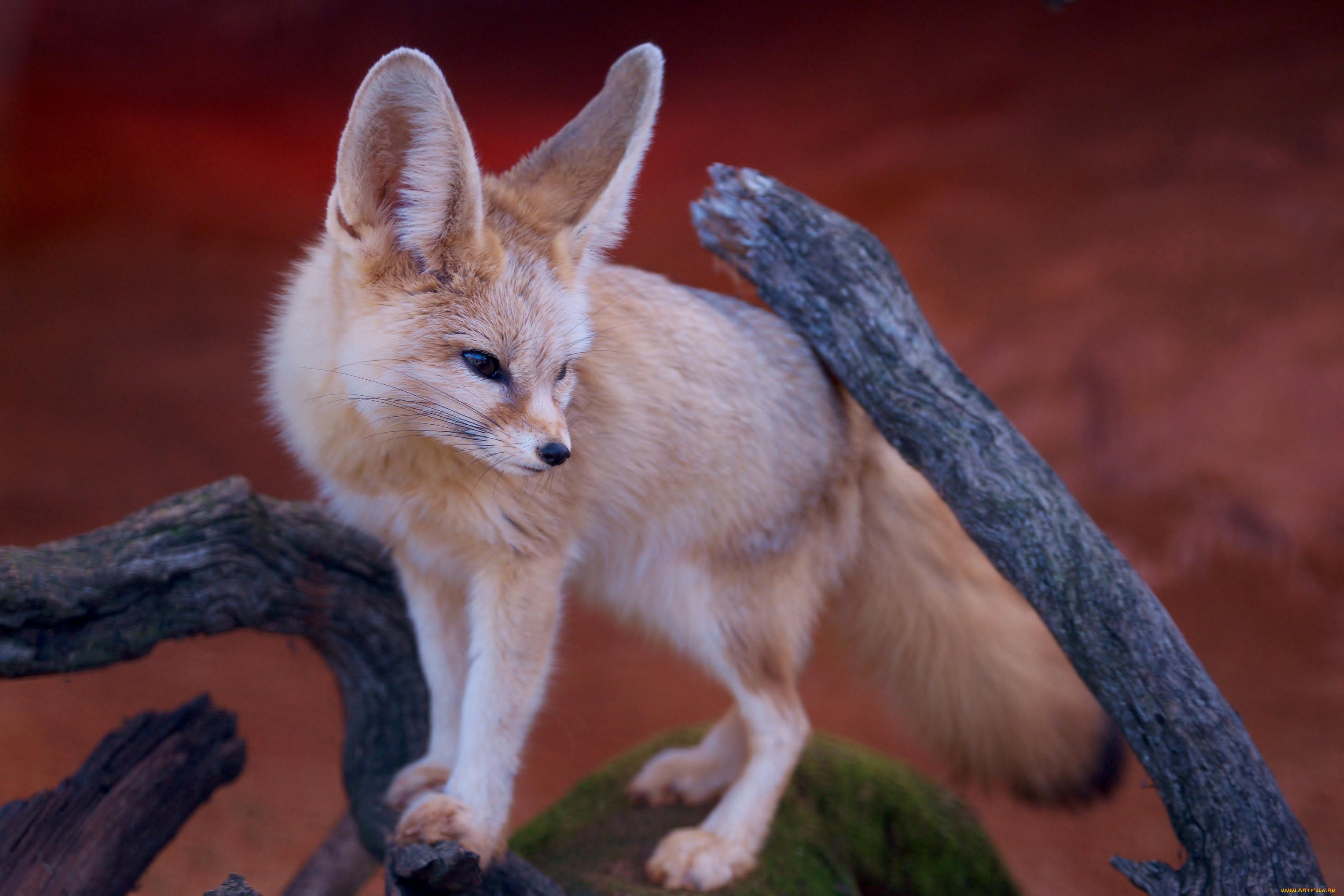 картинки пустынных лисичек предложениями